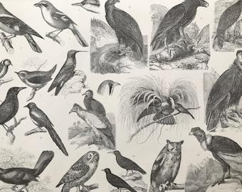 1869 Birds - Zoology Large Original Antique Illustration - Ornithology - Owl - Great Tit - Paradise Bird - Mounted and Matted