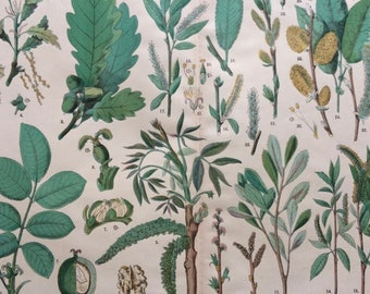 1890 Large Original Antique Botanical Lithograph - Botanical Print - Botany - Plants - Botanical Art - Tree - Nut - Willow - Oak - Walnut