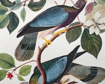 Band-Tailed Pigeon (Columba Fasciata) Large Original Vintage 1964  Audubon Print, 14 x 17 inches, Bird Decor, Vintage Decor, Ornithology
