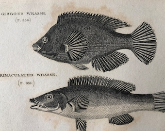 1812 Gibbous Wrasse and Trimaculated Wrasse Original Antique Engraving - Ichthyology - Fish Art - Fishing Cabin Decor - Available Framed