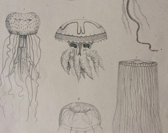 1862 Acalephae Original Antique Engraving - Available Mounted, Matted and Framed - Marine Species - Jellyfish - Zoology