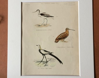 1862 Avocet - Common Snipe - Chinese Jacana Original Antique Hand Coloured Engraving - Available Mounted, Matted and Framed - Ornithology