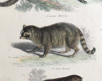 1862 Wolverine, Raccoon and Brown Coati Mondi Original Antique Hand Coloured Engraving - Available Mounted, Matted and Framed - Wildlife