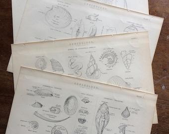 1880 Conchology Set of 4 Original Antique Steel Engravings - Wall Decor - Victorian Decor - Shell - Mollusc - Crustacean - Shellfish