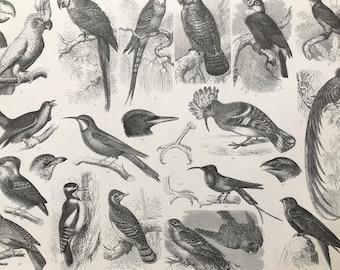 1869 Birds - Zoology Large Original Antique Illustration - Ornithology - Parrot, Trogon, Bee-Eater - Mounted and Matted
