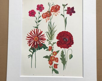 1924 Original Vintage Botanical Print - Tulip Poppy, Tom Thumb Lily - Garden - Horticulture - Mounted and Matted - Available Framed