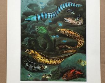 1968 Original Vintage Print - Mounted and Matted - Honeycomb Moray, Snowflake Moray, Mediterranean Moray - Fish - Available Framed