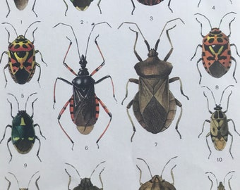 1984 Beetles Original Vintage Print - Coleoptera - Entomology - Insect Art - Mounted and Matted - Available Framed