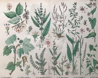 1880 Large Original Antique Botanical Lithograph - Botanical Print - Botany - Plants - Botanical Art - Elm - Bindweed