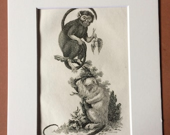 1800 Great Eared Monkey and Fair Monkey Original Antique Engraving - Zoology - Natural History - Primate - Available Framed