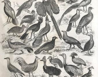 1858 Ornithology Original Antique Engraving - Victorian Decor - Peacock - Ostrich - Emu - Cockerel - Bird Art - Available Framed