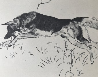 1950 Alsatian Original Vintage Illustration - Maurice Wilson - Animal Art - Dog Drawing - Mounted and Matted - Available Framed
