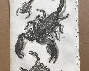 1809 Scorpion Species Original Antique Engraving - Entomology - Insect Art