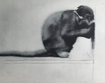 1937 A Sooty Mangabey Original Vintage Print - Mounted and Matted - Available Framed - Monkey - Primate - Natural History - Zoology