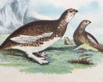 1896 Rock Ptarmigan Original Antique Chromolithograph - Bird - Ornithology - Available Framed - Wildlife Decor