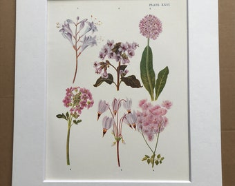 1924 Original Vintage Botanical Print - Lily, Cuckoo Flower, Cowslip - Garden - Horticulture - Mounted and Matted - Available Framed