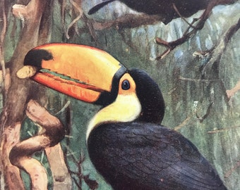 1903 Argentine Toucans Original Antique Print - Ornithology - Bird Art - Mounted and Matted - Available Framed