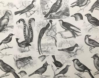 1869 Birds - Zoology Large Original Antique Illustration - Ornithology - Hummingbird Skeleton - Bird of Paradise - Mounted and Matted