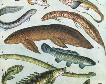 1983 Original Vintage Print - Fish - Ichthyology - Ocean Wildlife - Marine Decor - Mounted and Matted - Available Framed