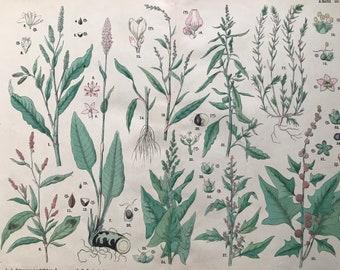 1880 Large Original Antique Botanical Lithograph - Botanical Print - Botany - Plants - Botanical Art - Buckwheat - Knotweed - Goosefoot