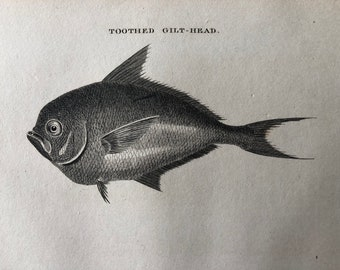 1812 Toothed Gilt-Head Original Antique Engraving - Ichthyology - Fish Art - Fishing Cabin Decor - Available Framed