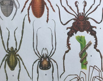 1984 Arachnida - Haymakers Original Vintage Print - Insect Art - Spider - Mounted and Matted - Available Framed