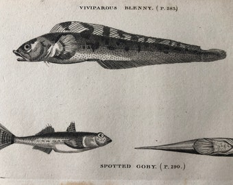 1812 Viviparous Blenny and Spotted Goby Original Antique Engraving - Ichthyology - Fish Art - Fishing Cabin Decor - Available Framed