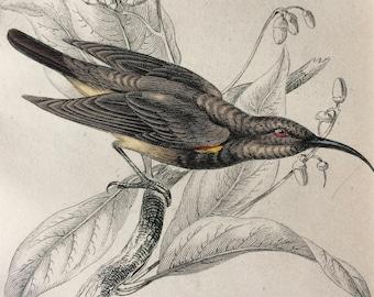 1843 Original Antique Hand Coloured Engraving - Jardine - Natural History - Sunbird Nectarinia Fusca - Passerine - Bird - Ornithology