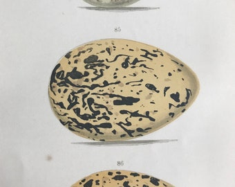 1871 Birds Egg Original Antique Print - Mounted and Matted - Available Framed - Ornithology - Turnstone - Oystercatcher