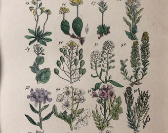 1914 Original Antique Hand-Coloured Engraving - British Wild Flowers - Mounted and Matted - Horseradish - Grass - Available Framed