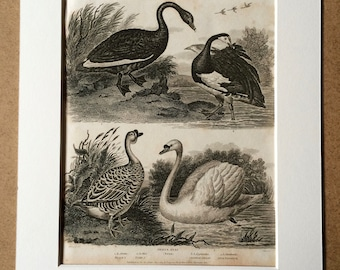 1819 Original Antique Engraving - Ornithology - Black Swan, White Swan, Chinese and Spur-WInged Goose - Bird - Available Matted and Framed