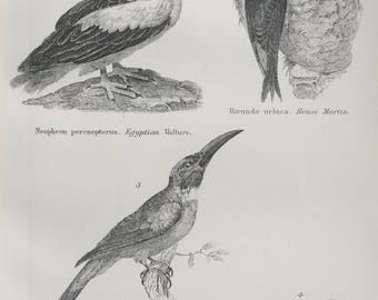 1891 Birds - Vulture, House Martin, Jacamar, Titmouse Original Antique Steel Engraving - Encyclopaedia Illustration - Ornithology