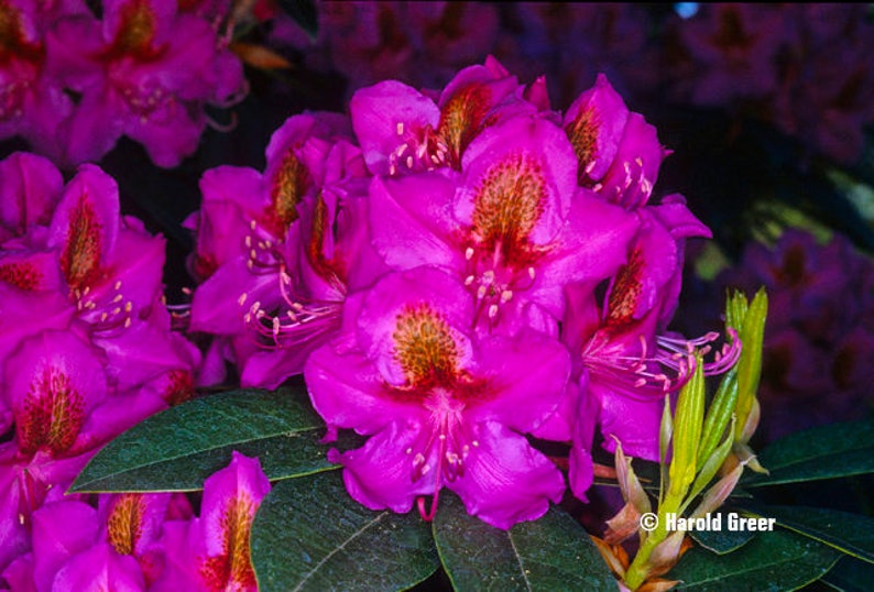 Hardy to -10 F Will Grow to Six Feet Dark PinkPurple Blooms with Red Blotch Rhododendron Red Eye #2 Container Size Plant
