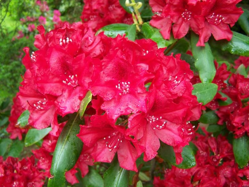 Red Blooms Will Grow to Five Feet Tall #2 Container Size Plant Rhododendron War Dance Hardy to -10 F