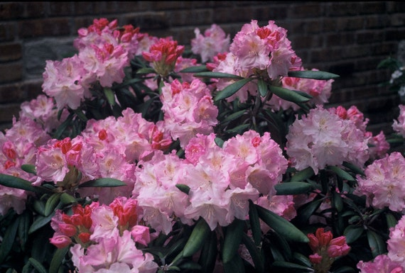 Rhododendron of The Year! Rhododendron Ken Janeck #1 Container Size Plant