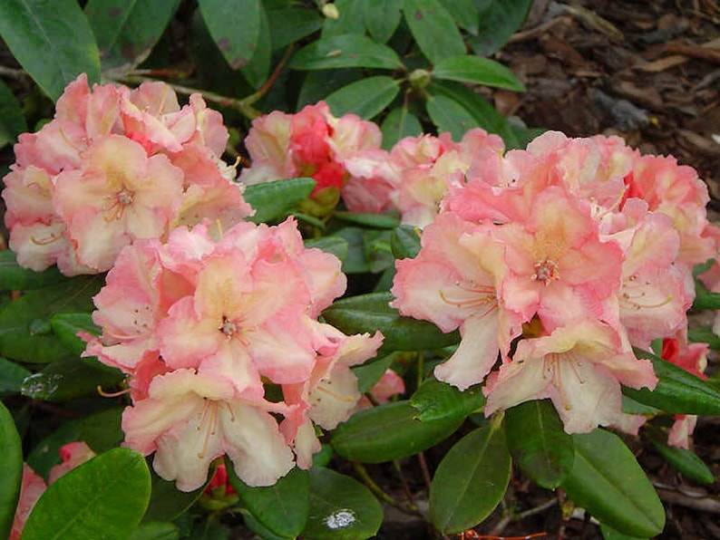 Yellow and Orange #3 Container Size Plant Rhododendron Bergie Larson Hardy to 10 F Will Grow to Three Feet