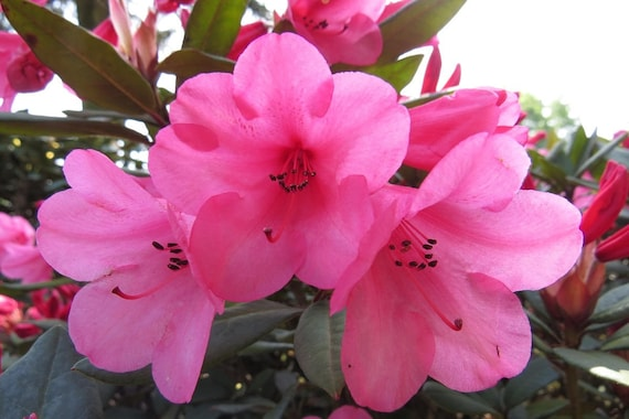 Rhododendron winsome hot pink bell shaped blooms hardy to etsy image 0 mightylinksfo