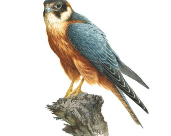 Australian Hobby, Little Falcon, bird, bird of prey, raptor, bird painting
