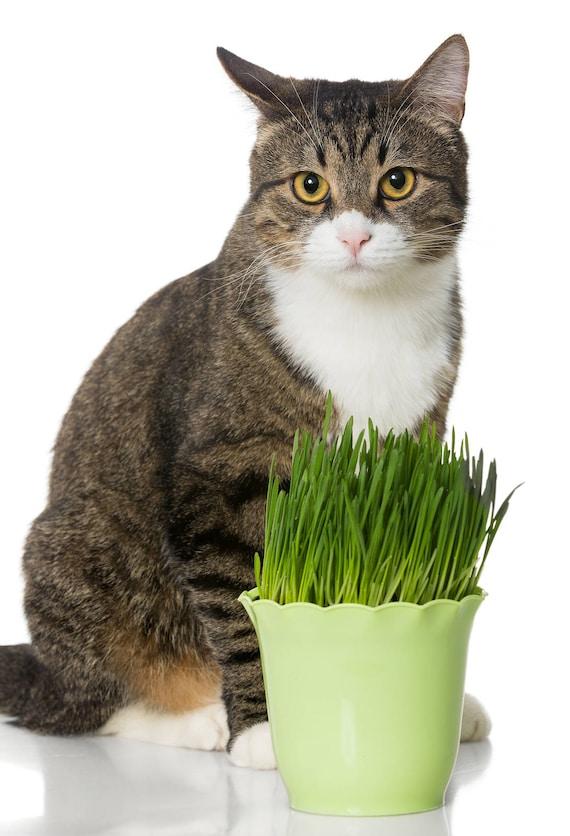 Hard Red Wheatgrass Seeds 3 ounces Cat grass