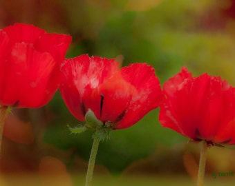 Red poppies, fine art pigment print, macro photography