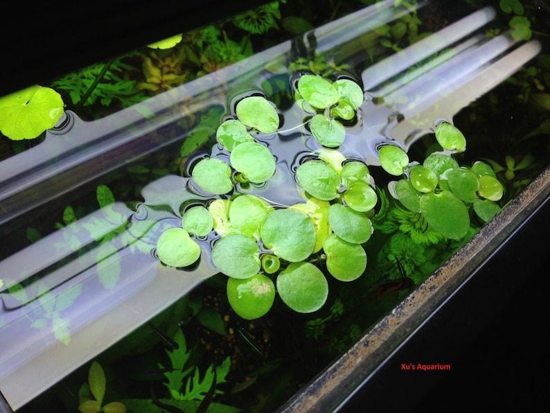 Amazon frogbit Limnobium laevigatum Live image 0