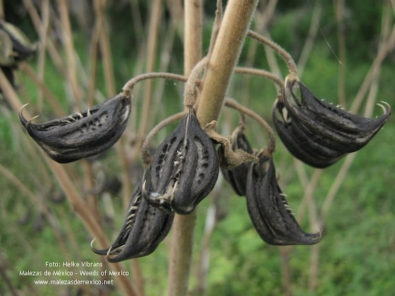 Tiger/'s Claw Seeds Devil Claw Seeds 20 Martynia annua Seeds