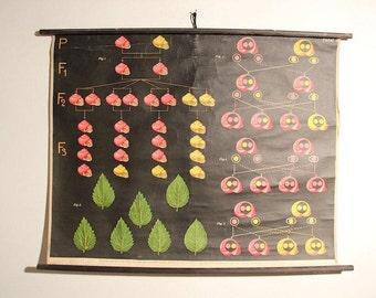 Antique Botanical Poster (ca. 1930) - Snail Mendel Science Poster Print - Snail Lithograph School Chart