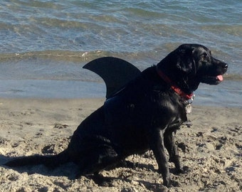 LARGE Shark fin for your dog.  Shark fin costume for your dog.  They're Lab tested!