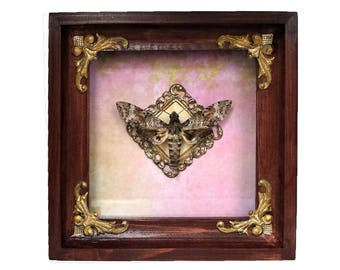 Pseudosphinx tetrio / Giant gray sphinx moth in ornate shadowbox display natural history insect art collection bug beetle luna