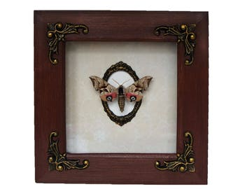 Eyed hawkmoth in ornate shadowbox / Smerinthus ocellatus display natural history insect art collection bug beetle luna