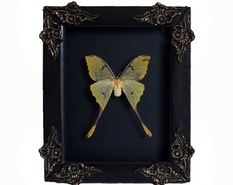 RARE ! ! ! African moon moth Argema mimosae in ornate shadowbox display natural history insect art collection bug beetle luna