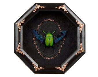 Beetle taxidermy Dicronorrhina micans framed specimen boxed preserved insect mummified real wall frame decor collection oddity entomology