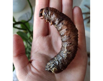 Real inflated larva in a jar