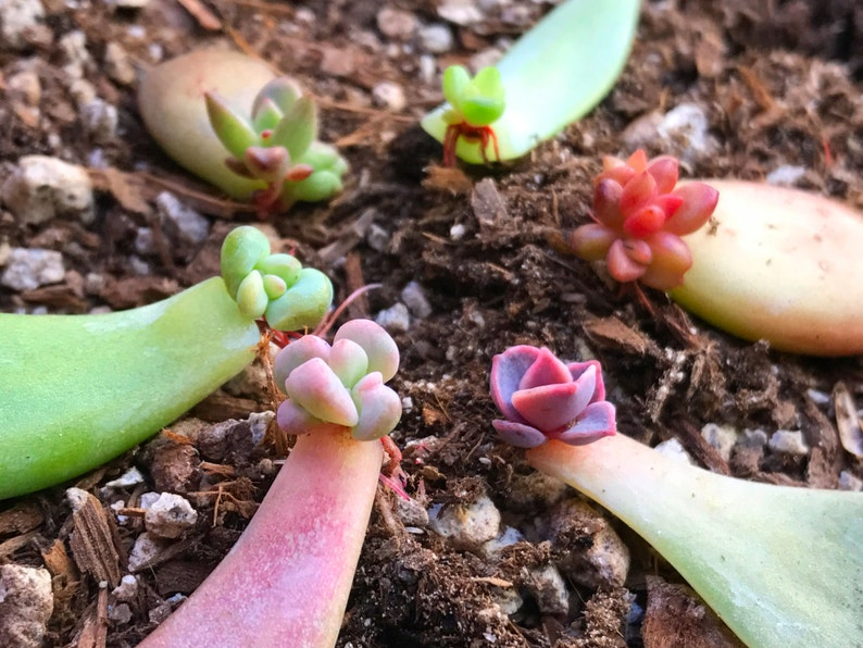 10 Succulent Leaves With Baby Succulents For Propagation of image 0